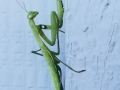 Praying Mantis: A Friend of the Garden